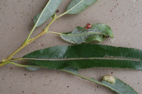 Phyllocnistis saligna leaf mine on Salix fragilis