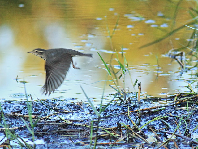 Northern Waterthrush in flight 20130929