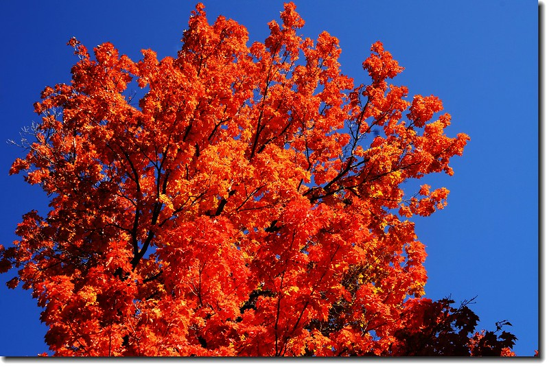 Maple in Fall, Mapleton Hill, Boulder (54)