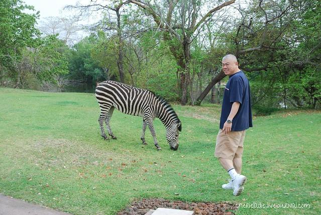 wild zebras grazing