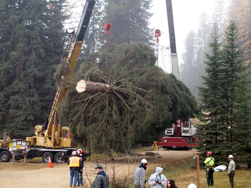 The 88-foot Engelmann spruce selected as the 2013 Capitol Christmas Tree is hoisted onto a flatbed truck, where it will be secured for the 5,000-mile journey across the country. (U.S. Forest Service photo)