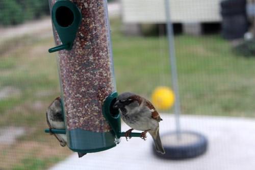 House Sparrow-2