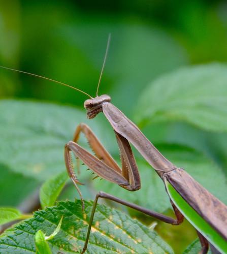 Praying Mantis by Bell7283