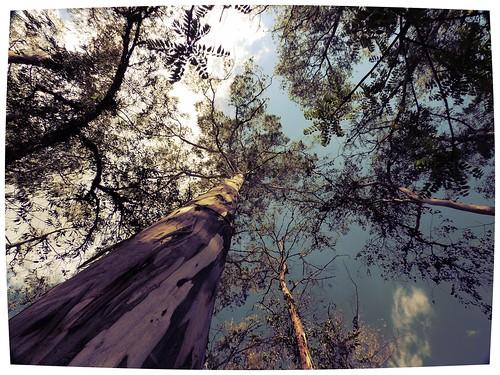 Eucaliptus en Cuidad Universitaria