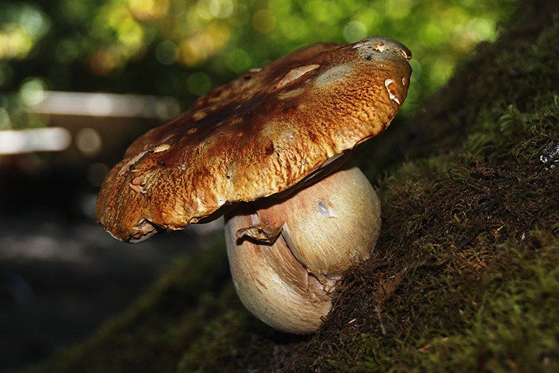 Mushroom at Fairy Lake, Port Renfrew, South Vancouver Island, British Columbia, Canada
