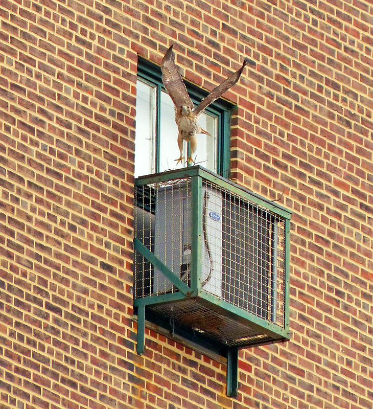 Adult red tail building a nest on the Christodora