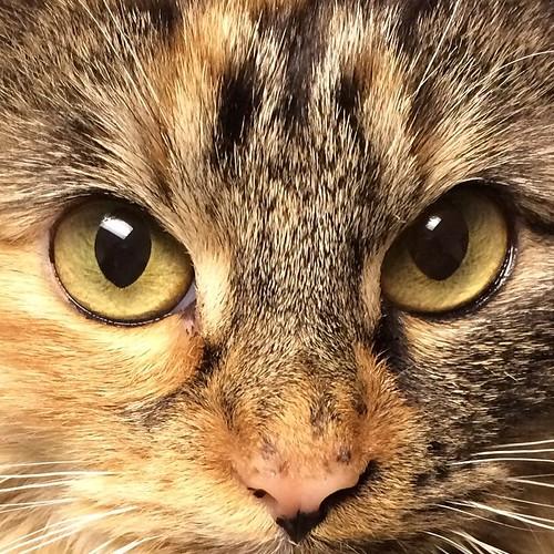 #wyllastout #permakitten #ibkc #kitten #cat