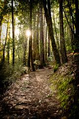 Winter Sun, Big Basin Redwoods State Park, CA