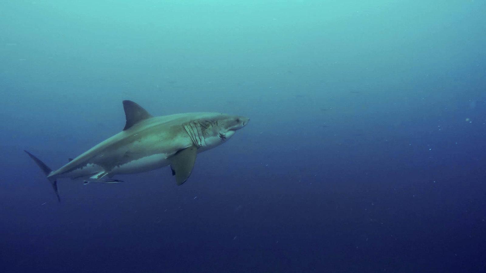 White Shark, Aliwal Shoal 2015
