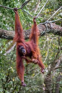Hold on tight - Orangutans in Singapore zoo