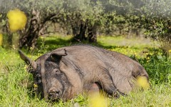 animal, peccary, wild boar, domestic pig, pig, fauna, pig-like mammal, safari, wildlife,