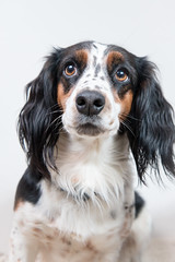 dog breed, animal, dog, pet, king charles spaniel, english cocker spaniel, spaniel, carnivoran,