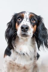 kooikerhondje(0.0), welsh springer spaniel(0.0), setter(0.0), phalã¨ne(0.0), cavalier king charles spaniel(0.0), dog breed(1.0), animal(1.0), dog(1.0), pet(1.0), king charles spaniel(1.0), english cocker spaniel(1.0), spaniel(1.0), carnivoran(1.0),