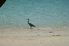 Reef egret