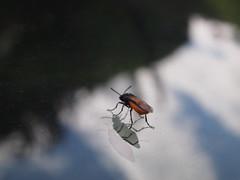Stunning Rose sawfly