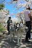 263. Dogs and Cherry Blossoms by enfys photography