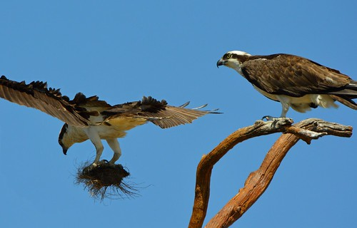 Ospreys Preparing the Nest