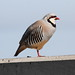 Small photo of Chukar (Alectoris chukar)