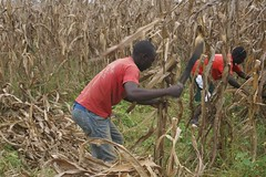 Harvesting Maize to upper fieid