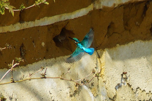 Kingfisher flies to nesting hole