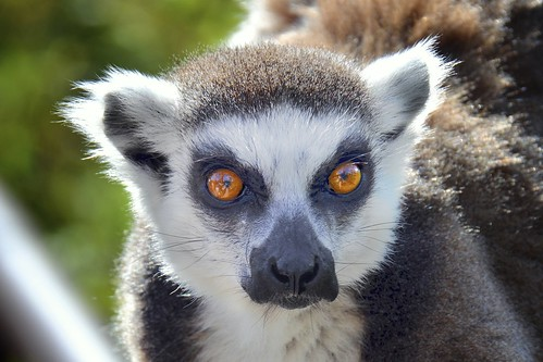 portrait brown white nature animal torino monkey wildlife lemur madagascar redeyes ringtailed cumiana zoomtorino