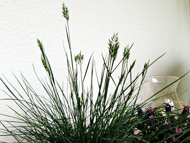 lavendel_gras