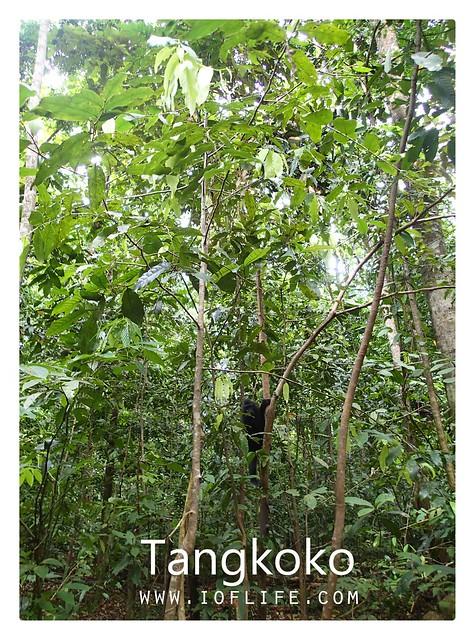 Yaki hutan tangkoko