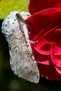 Puss moth on red camellia in my Garden
