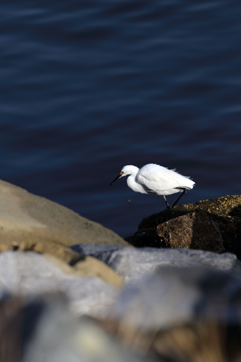 042713_birding09_snowyEgret