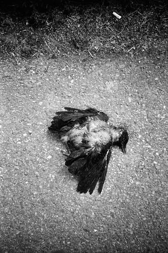 Dead Jackdaw
