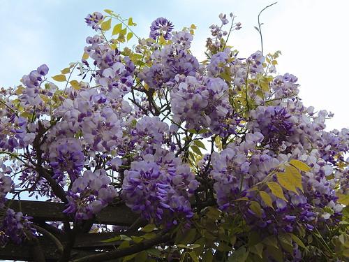 Blooming wisteria. Nyon. Switzerland.