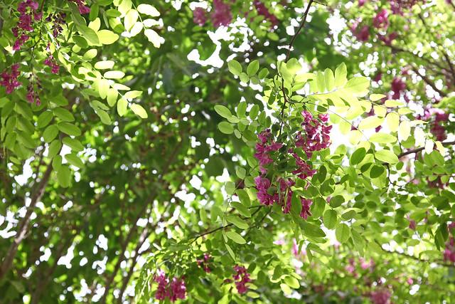 Robinia pseudoacacia trees in Kumul (Hami) ハミ、街路樹のニセアカシア
