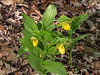 Cypripedium parviflorum var. pubescens (Large Yellow Lady's-slipper orchid)