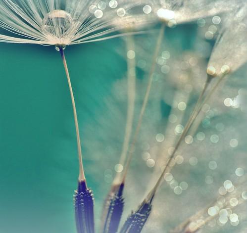 Dandelion - Pusteblume