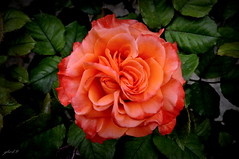 shrub(1.0), garden roses(1.0), rosa 㗠centifolia(1.0), floribunda(1.0), flower(1.0), red(1.0), plant(1.0), flora(1.0), rosa chinensis(1.0), petal(1.0),