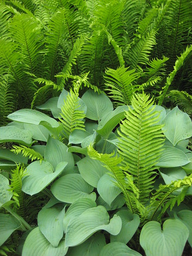 Ferns through hostas
