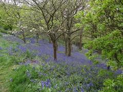 Bluebells - Emmetts Garden - Ide Hill {mei 2013}