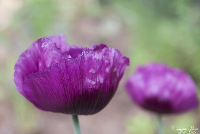 Lauren's Grape Poppy