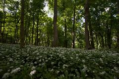 Wild Garlic on Ashridge Estate 2013