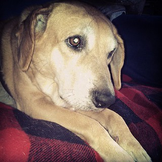 Slightly annoyed dog #dogstagram #rescue #houndmix #adoptdontshop #love