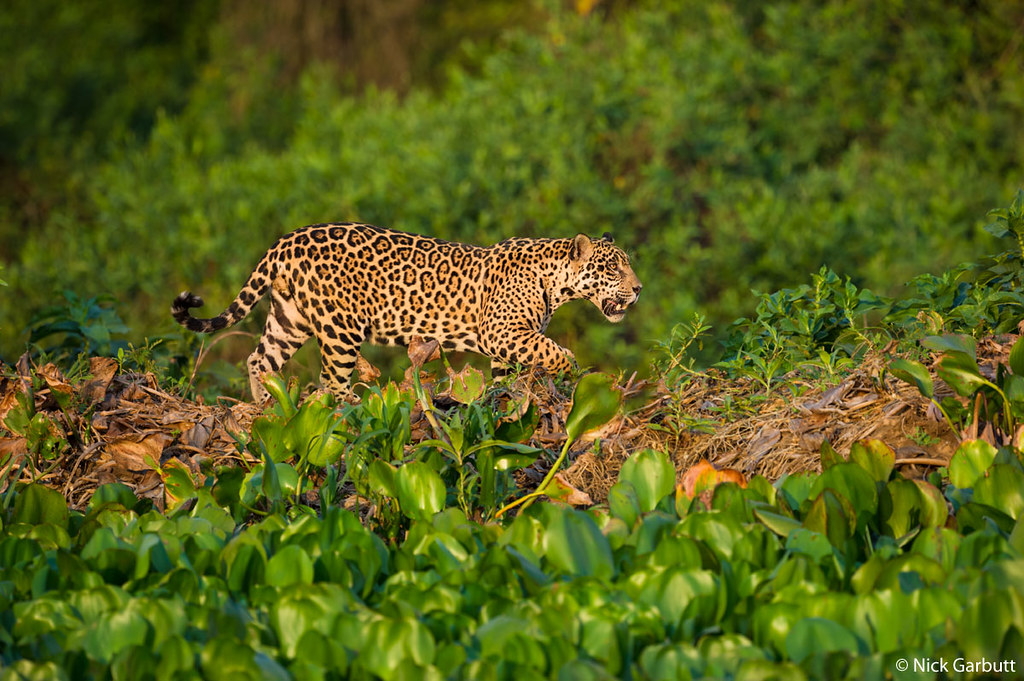 Jaguar Along the Bank of the Cuiaba River in the Brazilian Pantanal