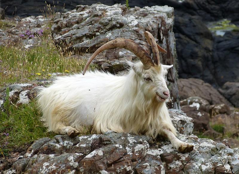 P1050714 - Wild Goat, Isle of Mull