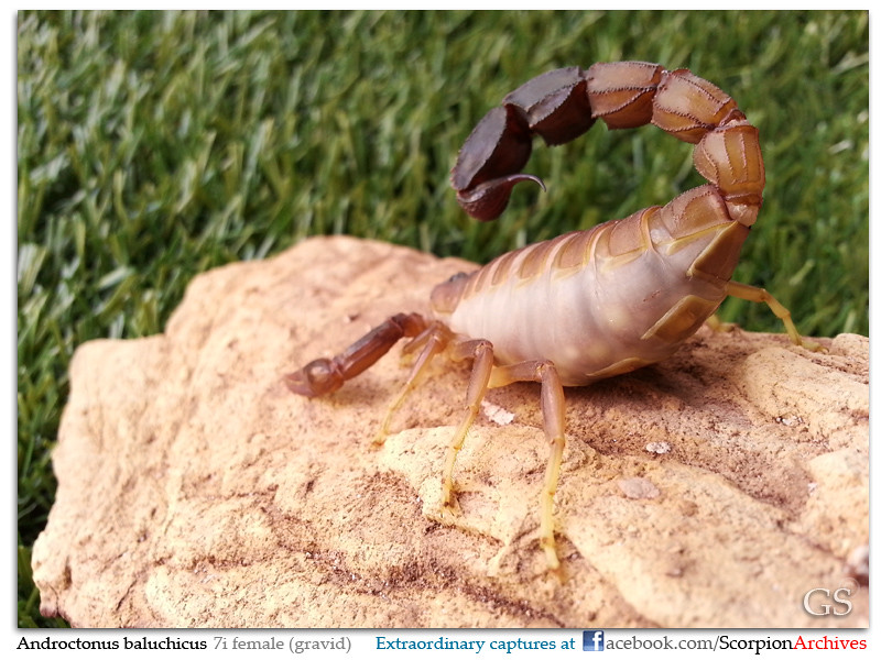 [HOW TO] Guide to Mating Scorpions 9483999127_99246ccfca_b