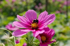 annual plant, flower, garden cosmos, plant, macro photography, flora, close-up, meadow, cosmos, petal,