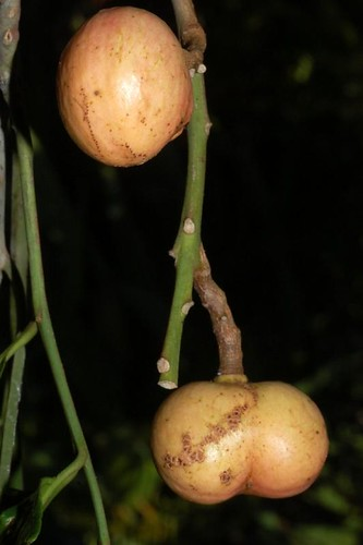 Dysoxylum alliaceum