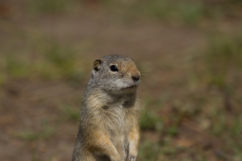 A Ground Squirrel by Benedikt Halfdanarson