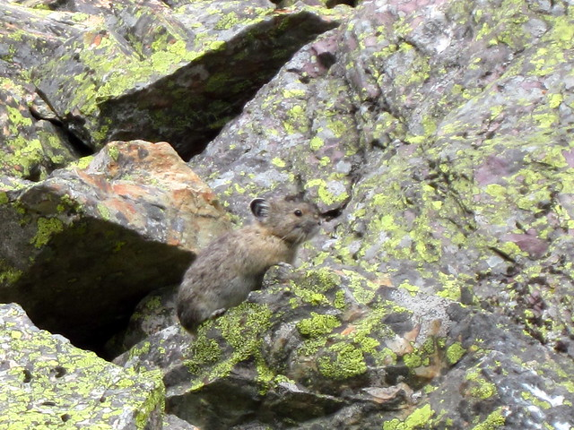 spying on a pika
