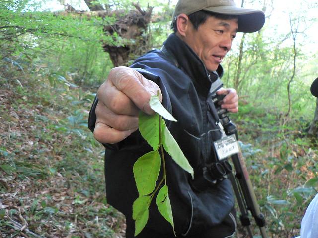 モモンガが食べた残した葉.道のところどころに落ちていた.
