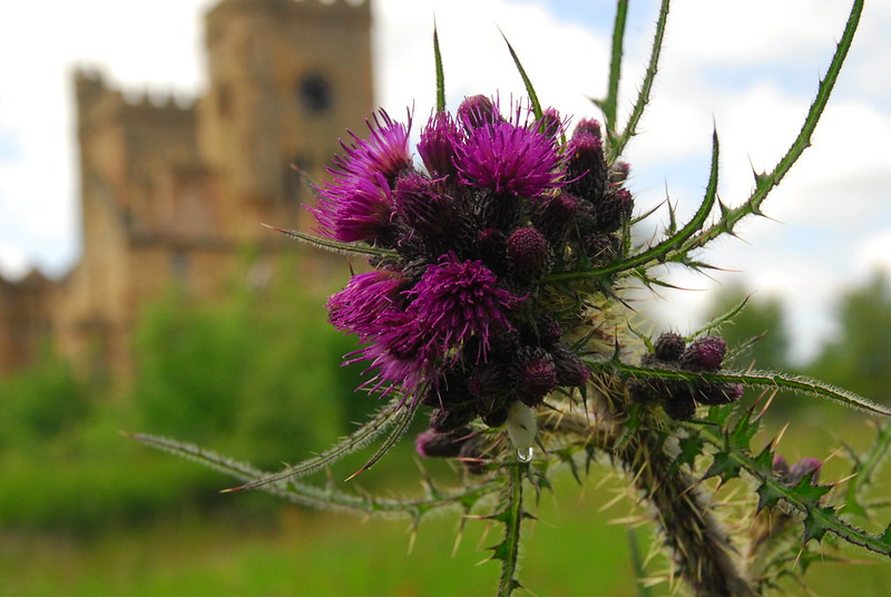 Hartwood thistle