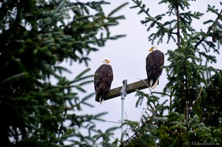 Bald eagles are everywhere on Haida Gwaii
